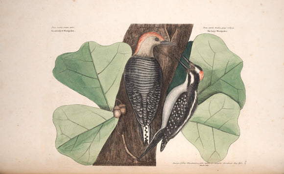 CATESBY, Mark (1683 – 1749) Vol.I, Tab. 19, The Red-bellied Wood-pecker, The Hairy Wood-pecker, and The Black Oak