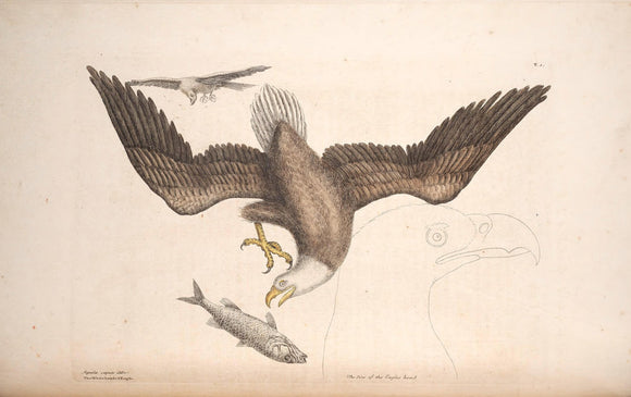 CATESBY, Mark (1683 – 1749) Vol.I Tab. 1, The Bald Eagle