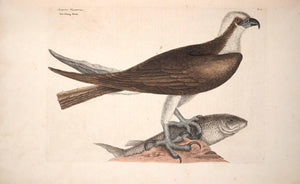 CATESBY, Mark (1683 – 1749) Vol.I, Tab. 2, The Fishing Hawk