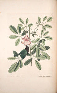 CATESBY, Mark (1683 – 1749) Vol.I, Tab. 37, The Bahama Sparrow and Bignonia