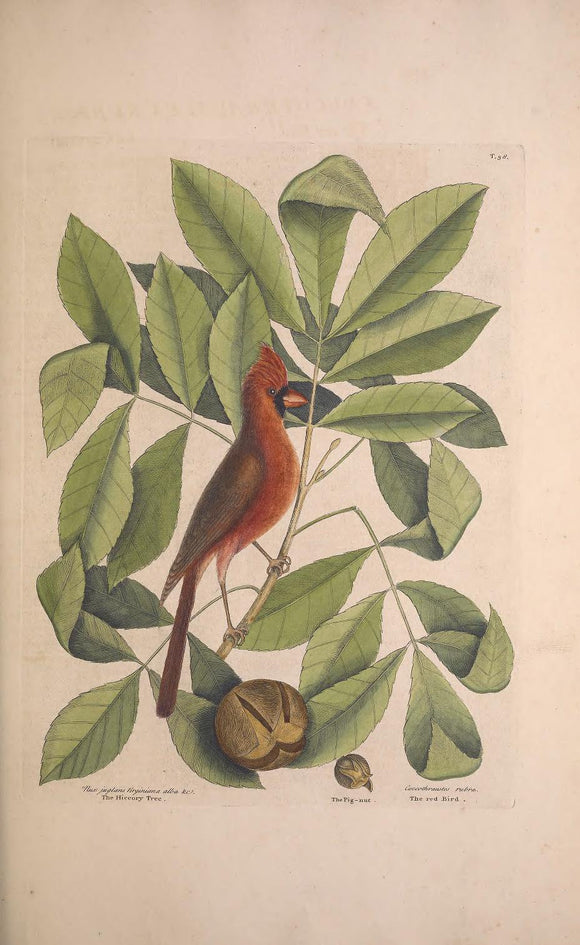 CATESBY, Mark (1683 – 1749) Vol.I, Tab. 38, The Red Bird, The Hiccory Tree, and The Pignut