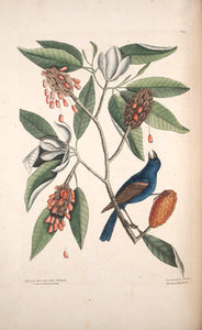 CATESBY, Mark (1683 – 1749) Vol.I, Tab. 39, The Blue Gross-beak and The Sweet Sweet Flowering Bay