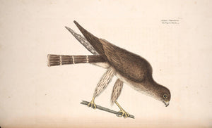 CATESBY, Mark (1683 – 1749) Vol.I, Tab. 3, The Pigeon Hawk