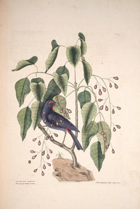 CATESBY, Mark (1683 – 1749) Vol.I, Tab. 40, The Purple Gross-beak and The Poison Wood