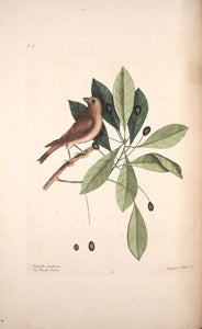 CATESBY, Mark (1683 – 1749) Vol.I, Tab. 41, The Purple Finch and The Tupelo Tree
