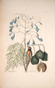 CATESBY, Mark (1683 – 1749) Vol.I, Tab. 42, The Bahama Finch and The broad leaf'd Guaicum, with blue Flowers