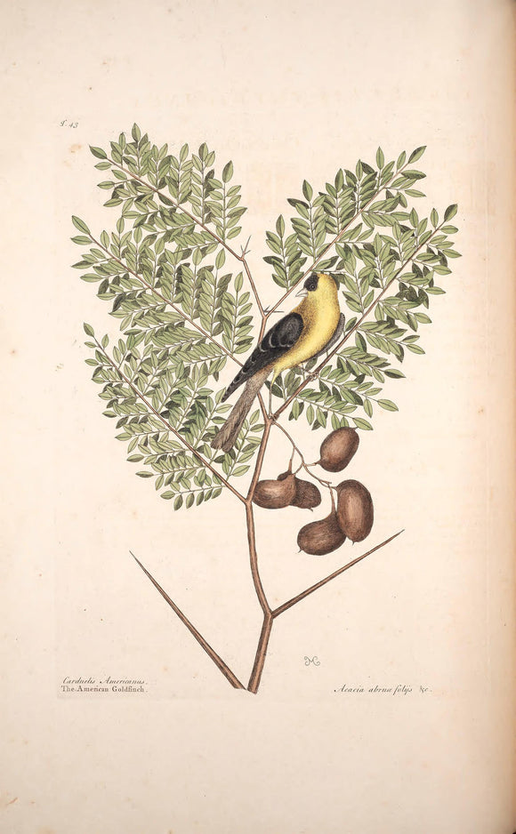CATESBY, Mark (1683 – 1749) Vol.I, Tab. 43, The American Goldfinch and Acacia