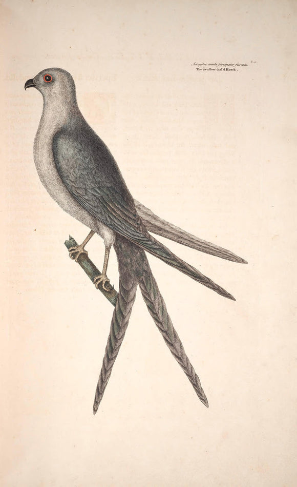 CATESBY, Mark (1683 – 1749) Vol.I, Tab. 4, The Swallow-Tail Hawk
