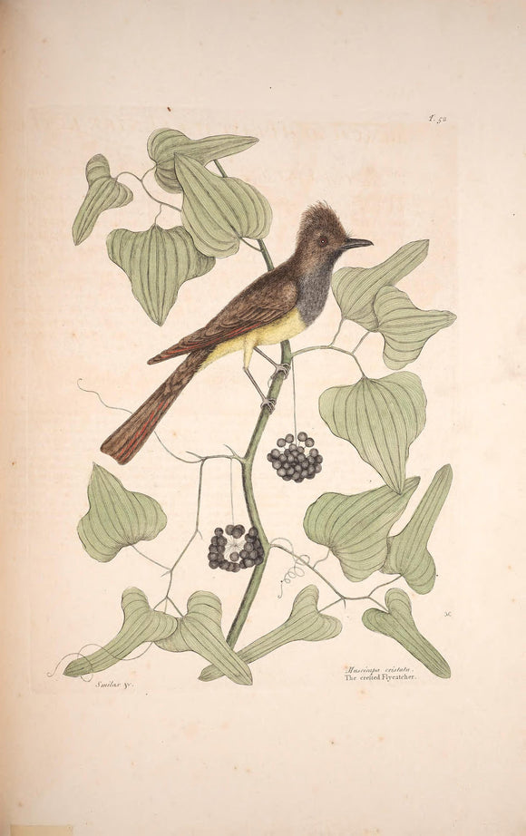 CATESBY, Mark (1683 – 1749) Vol.I, Tab. 52, The crested Fly-Catcher