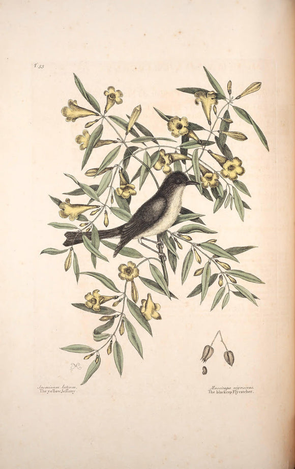 CATESBY, Mark (1683 – 1749) Vol.II, Tab. 53, The Green Spotted Snake