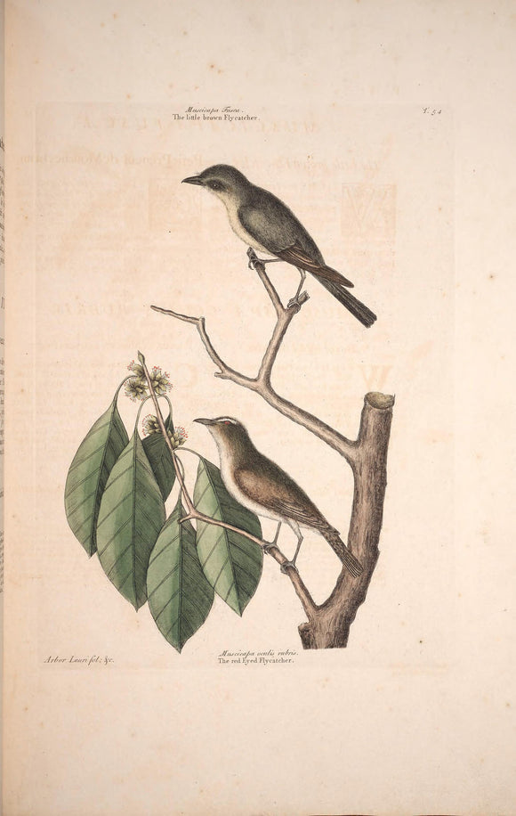 CATESBY, Mark (1683 – 1749) Vol.I, Tab. 54, The little brown Fly-catcher and The red-ey'd Fly-catcher