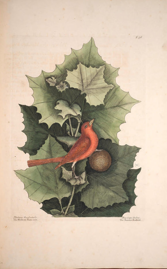 CATESBY, Mark (1683 – 1749) Vol.I, Tab. 56, The Summer Red-Bird and The Western Plane-Tree