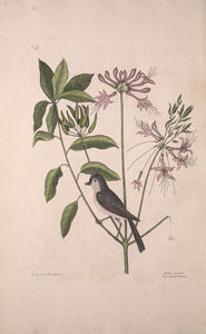 CATESBY, Mark (1683 – 1749) Vol.I, Tab. 57, The crested Titmouse and The Upright Honeysuckle
