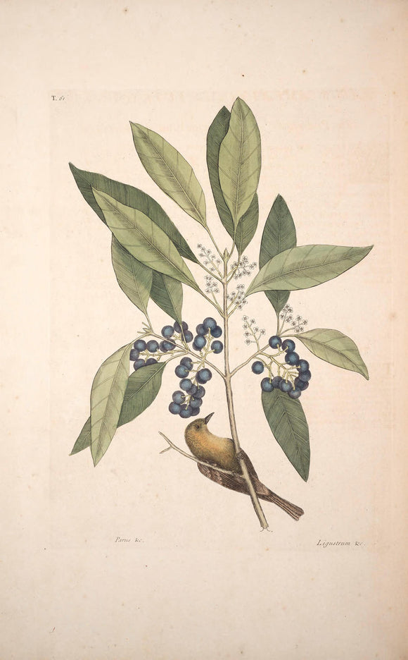 CATESBY, Mark (1683 – 1749) Vol.I, Tab. 61, The Pine-Creeper and The Purple-Berried Bay