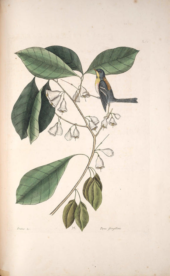 CATESBY, Mark (1683 – 1749) Vol.I, Tab. 64, The Finch-Creeper