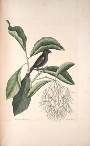 CATESBY, Mark (1683 – 1749) Vol.I, Tab. 68, The little black Bulfinch
