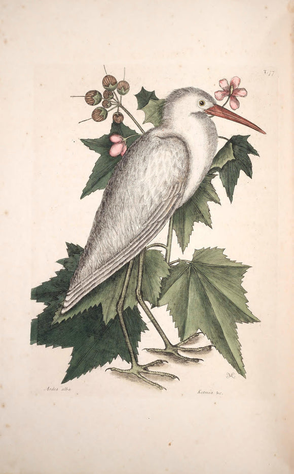 CATESBY, Mark (1683 – 1749) Vol.I, Tab. 77, The little white Heron