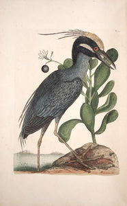 CATESBY, Mark (1683 – 1749) Vol.I, Tab. 79, The crested Bittern