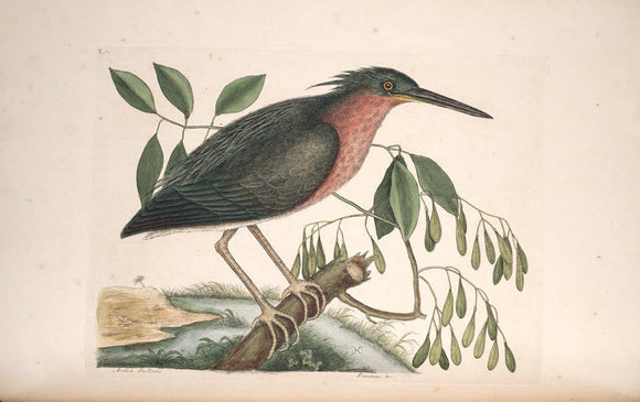 CATESBY, Mark (1683 – 1749) Vol.I, Tab. 80, The Small Bittern