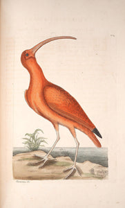 CATESBY, Mark (1683 – 1749) Vol.I, Tab. 84, The Red Curlew