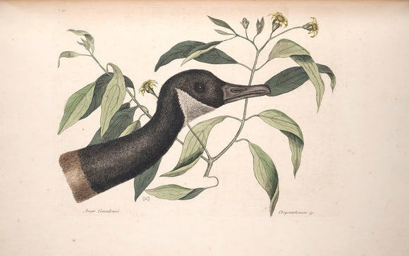 CATESBY, Mark (1683 – 1749) Vol.I, Tab. 92, The Canada Goose
