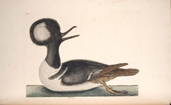 CATESBY, Mark (1683 – 1749) Vol.I, Tab. 94, Round-Crested Duck (Mergus)