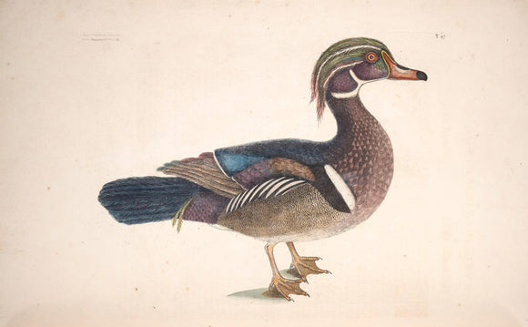 CATESBY, Mark (1683 – 1749) Vol.I, Tab. 97, The Summer Duck
