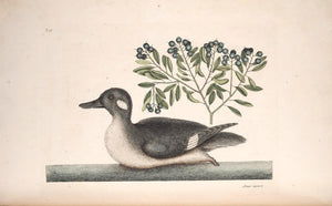 CATESBY, Mark (1683 – 1749) Vol.I, Tab. 98, The little brown Duck and Soap-Wood