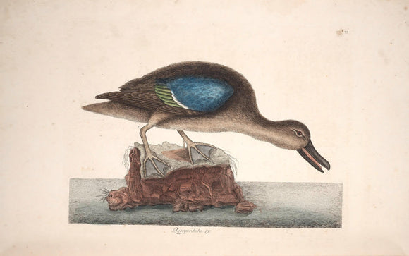 CATESBY, Mark (1683 – 1749) Vol.I, Tab. 99, The Blue-wing Teal
