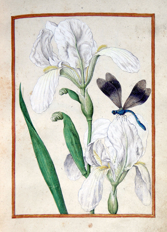 JACQUES LE MOYNE DE MORGUES (FRENCH, CA. 1533-1588) f.9: White Iris and dragonfly Watercolor and gouache on paper prepared as vellum