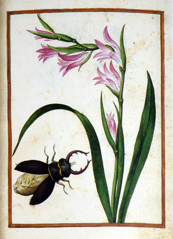 JACQUES LE MOYNE DE MORGUES (FRENCH, CA. 1533-1588) f.10: Wild Gladiolus and stag beetle Watercolor and gouache on paper prepared as vellum