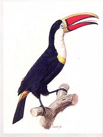 barraband-jacques-1767-1809-red-billed-toucan-le-tocan-a-collier-jaune-watercolor-and-gouache-on-paper-c-1800