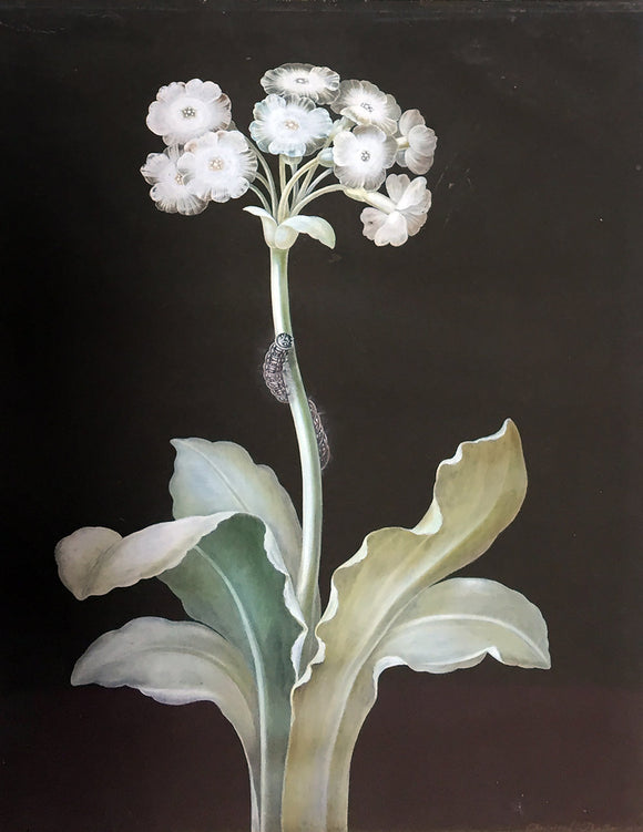 bayer-johann-christoph-1738-1812-a-white-primula-auricula-with-caterpilla-nuremberg-ca-3rd-and-4th-quarters-18th-century