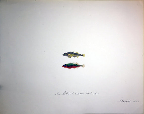 bowdich-later-lee-sarah-1791-1856-original-watercolour-and-gouache-drawing-of-a-pair-of-stickleback-fishes-1828-1836