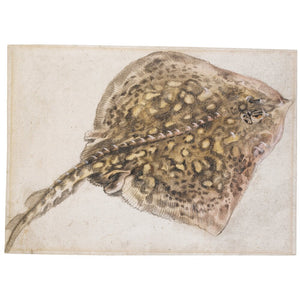 dutch-school-17th-century-a-thornback-ray-pen-and-gray-ink-and-watercolor-heightened-with-white