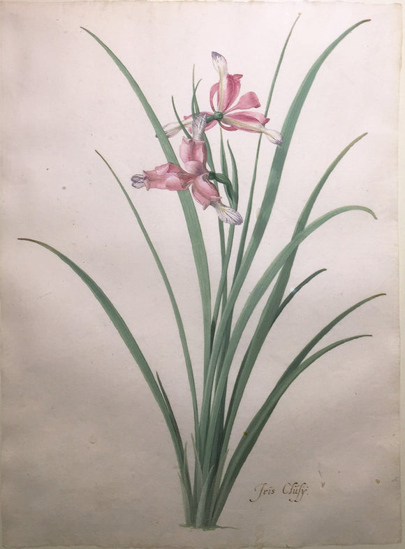 pieternbspholsteyn-the-younger-dutch-1614-1687-iris-cluly-watercolor-on-paper
