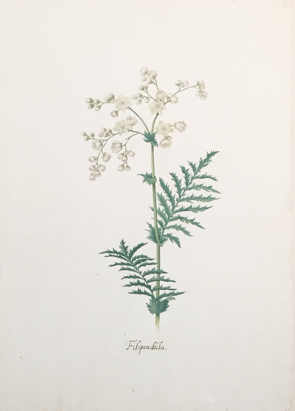 pieternbspholsteyn-the-younger-dutch-1614-1687-filipendula-watercolor-on-paper