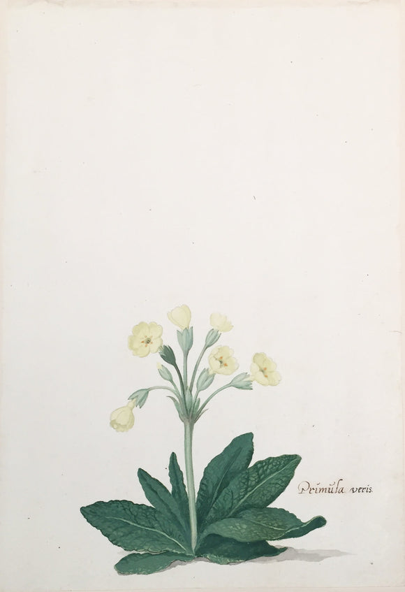 pieter-holsteyn-the-younger-dutch-1614-1687-yellow-primula-veris-common-cowslip-watercolor-on-paper