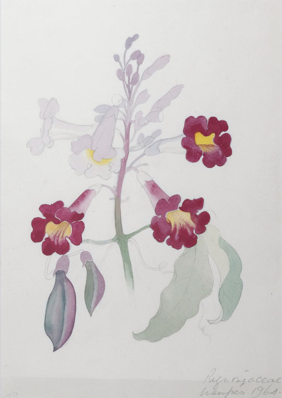 mee-margaret-1909-1988-original-gouache-and-watercolour-over-graphite-drawing-of-the-bignoniaceae-flower-uaupes-1964-1965