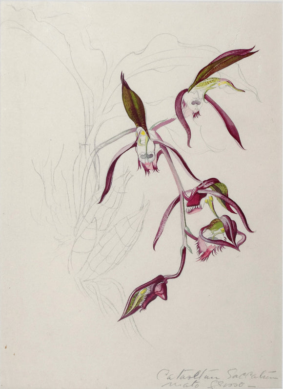 mee-margaret-1909-1988-original-gouache-and-watercolour-over-graphite-drawing-of-the-orchid-catasetum-saccatum-mato-grosso-ca-1962-1965