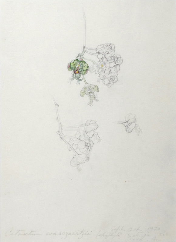 mee-margaret-1909-1988-original-gouache-and-watercolour-over-graphite-drawing-of-the-orchid-castasetum-warczewitzii-epiphyte-rio-araca-amazonas-september-october-1970