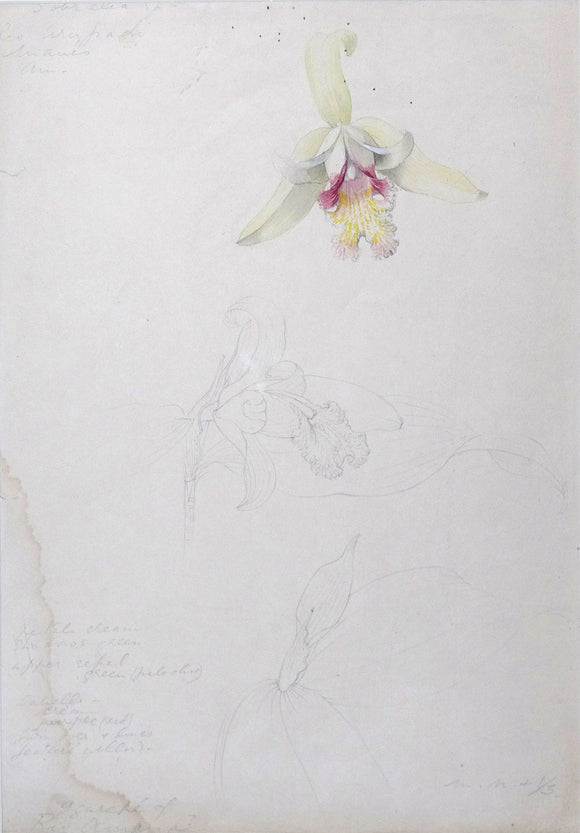 mee-margaret-1909-1988-original-gouache-and-watercolour-over-graphite-drawing-of-the-orchid-sobralia-sp-rio-urupadi-maues-amazonas-ca-1972