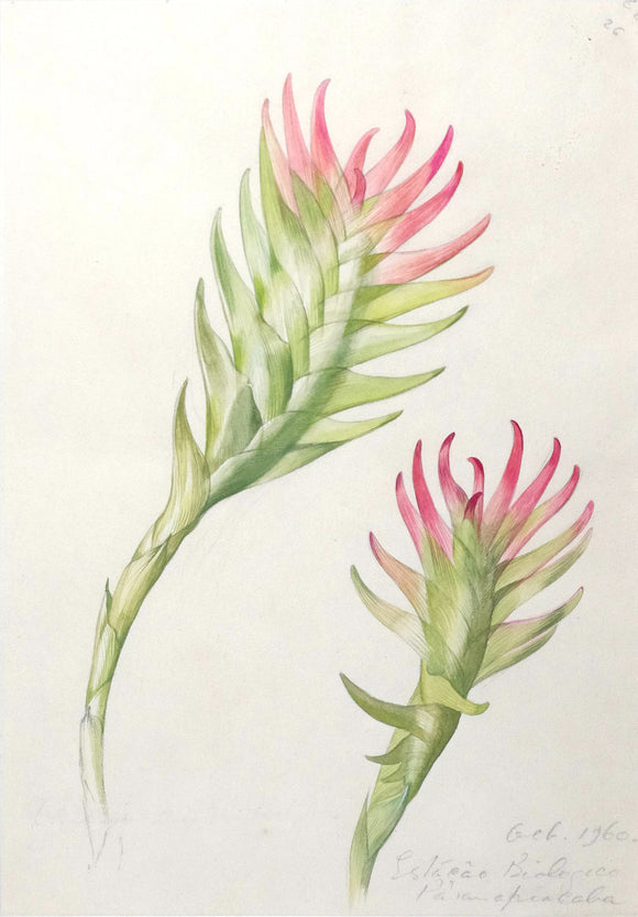 mee-margaret-1909-1988-original-gouache-and-watercolour-over-graphite-drawing-of-the-succulent-vriesea-erythrodactylon-estacao-biologico-paranapiacaba-1960