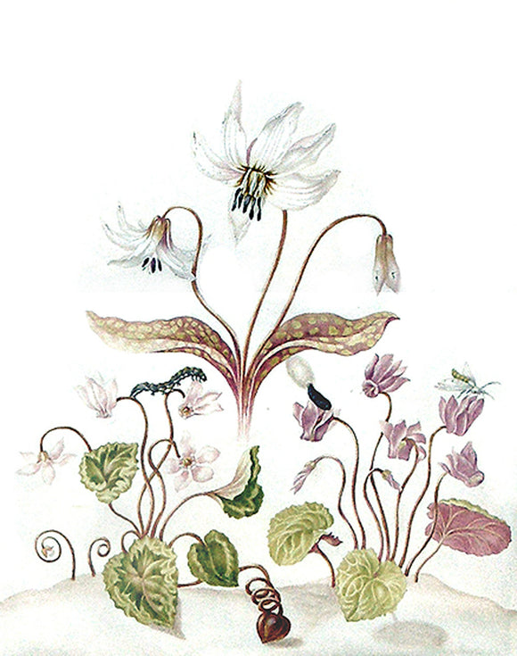 herolt-graff-johanna-helena-1668-1717-attributed-to-studies-of-a-lily-and-two-cyclamen-with-brown-tail-moth-caterpillar-and-chrysalis-ca-1702-1711