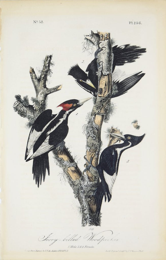 John James Audubon (1785-1851), Plate 256 Ivory-billed Woodpecker