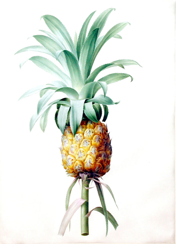 pierre-joseph-redout-1759-1840-456-bromella-ananas-cultivated-pineapple