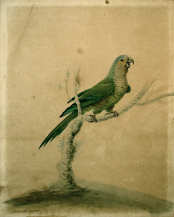 Sarah Stone (British, c. 1760-1844), Small Green Parrot, 1785