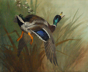 thorburn-archibald-1860-1935-mallard-duck-in-flight-1897-watercolor-on-paper