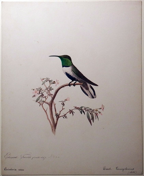 travies-edouard-1809-1865-original-painting-of-a-white-sided-hillstar-hummingbird-paris-1847