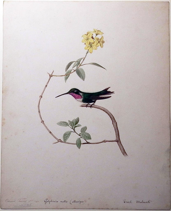 travies-edouard-1809-1865-original-painting-of-a-white-bellied-woodstar-hummingbird-paris-1842